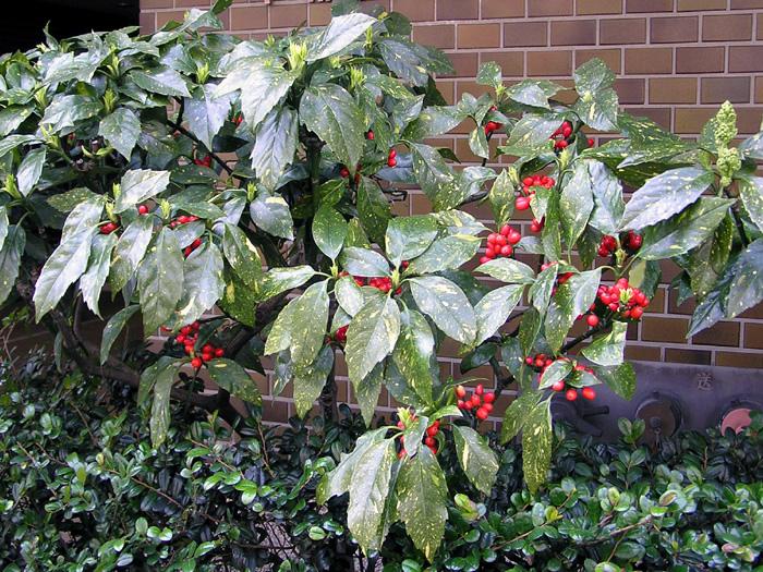 アオキ (植物)の画像 p1_27