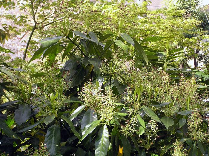 アオキ (植物)の画像 p1_29