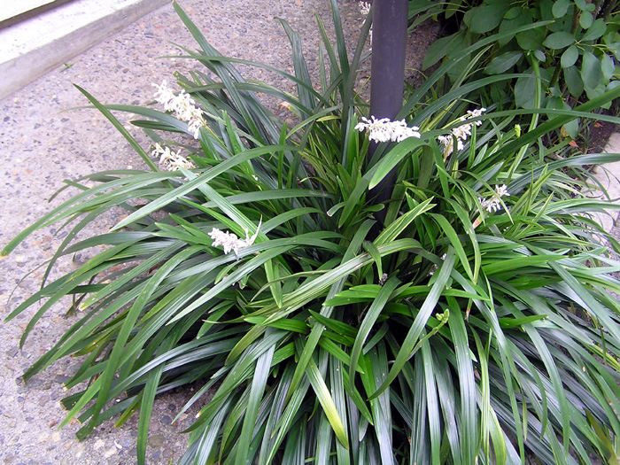 シラン (植物)の画像 p1_28