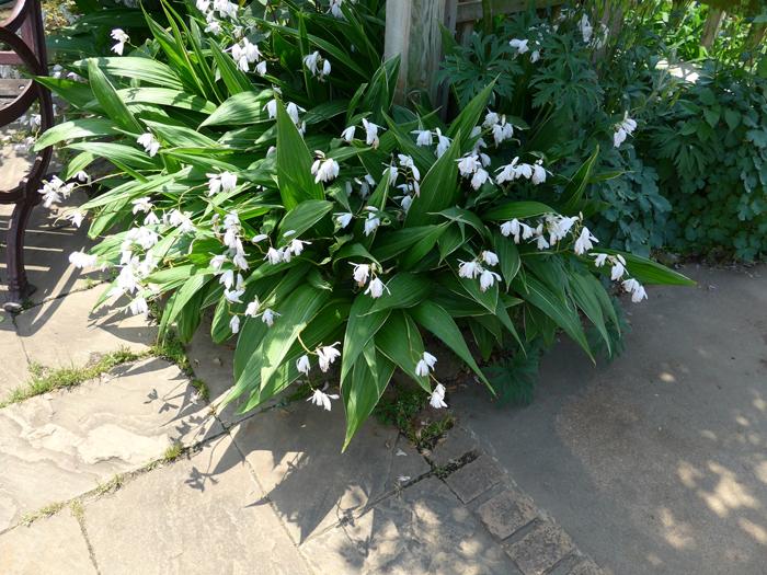 シラン (植物)の画像 p1_27