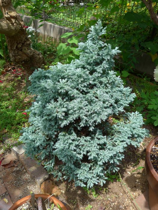 サワラ (植物)の画像 p1_40